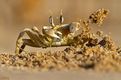 sand throwing ghost crab @ Tel Baruch Beach Tel Aviv Israel 2015 urban nature (Jan Rillich) Tags: sand throwing hole dig carry ghostcrab telbaruchbeach telaviv israel 2015 urbannature beach sea saltwater hunting jan rillich janrillich picture photo photography foto fotografie eos digital wildlife animal nature beautiful beauty sunny sun fauna flora free animalphotography image urban telbaruch strand canonef300mmf4lusm canon ef 300mm f4l usm