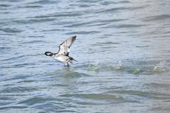 8F9A1310.jpg (ericvdb) Tags: bird duck muskegon wastewaterplant