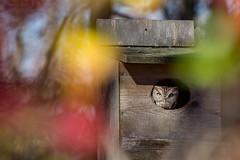 Eastern Screech Owl (carlson322) Tags: nature birds canon wildlife great nj swamp owl eastern owls screech greatswamp 400mm easternscreechowl