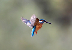 Kingfisher Male (Alcedo atthis) 004-1 (cwoodend..........Thanks) Tags: brandon kingfisher juvenile wwt hovering hover 2015 alcedoatthis brandonmarsh warwickshirewildlifetrust kingfisherjuvenile juvenilekingfisher kingfisherhovering