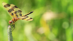 Halloween Pennant (Celithemis eponina) (Escape to the Bughouse) Tags: dragonfly halloweenpennant websterminnesota