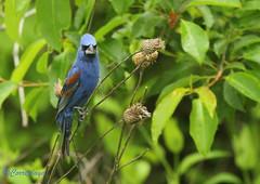 Azulillo Grande Blue Grosbeak (Passerina caerulea) (Corriplaya) Tags: birds aves bluegrosbeak passerinacaerulea corriplaya azulillogrande