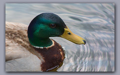 Up Close and Personal (gtncats) Tags: park closeup outside duck pond outdoor mallardduck potofgold ef70300mm canon70d