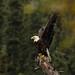 Mais uma águia-americana ou careca
