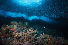 Sardine school and reeftop (Luko GR) Tags: fish nature coral outdoors underwater philippines bluewater wideangle scuba diving cebu reef visayas moalboal schoal panagsama tanonstrait sardineschool