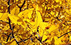 New England Golden Autumn (BlueisCoool) Tags: autumn plant color tree fall nature colors beautiful leaves outdoors photography gold golden photo leaf flickr pretty foto bright image outdoor massachusetts sony picture newengland vivid cybershot autumncolors foliage serene capture autumninnewengland plainvillemassachusetts dscw300 newenglandgoldenautumn