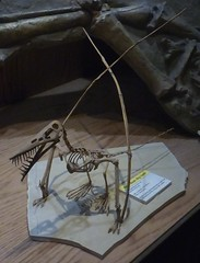 Ybptr_1b (gvgoebel) Tags: fossil reptile pterosaur