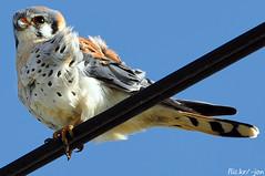 2012-03-25 American Kestrel (D90 Archives) (1024x680) (-jon) Tags: anacortes skagitcounty washingtonstate salishsea pugetsound laconner alversonroad americankestrel falcosparverius bird birdofprey raptor birdonawire d90archives a266122photographyproduction male falcon skagit