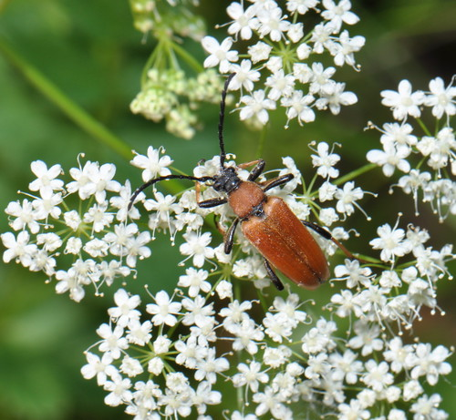 Red-brown Longhorn Beetle (Stictoleptura rubra)