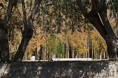 camino de santiago, San Zoilo (madreselva20) Tags: santiago naturaleza de los san rboles y camino otoo len condes sauces caminodesantiago carrin castilla palencia chopos peregrinos zoilo