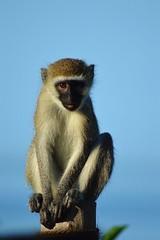 Monkeys Perch (DaveTaylor2014) Tags: wild holiday nature animal tanzania monkey pole perch pemba