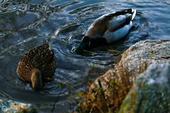 Look At Them Ducks (Jan C.P. Luna) Tags: nyc newyorkcity lake nature water birds animals centralpark ducks 2015 janluna