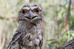 Tawny Frogmouth (Reptilezz) Tags: green bird eye nature birds animal animals mouth james bush eyes nikon afternoon action bokeh wildlife brodie australian feathers australia brisbane an frog angry owl qld queensland 1855 nikkor avian australasian tawny frogmouth d7100