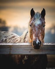 """Out to Pasture"" (D A Baker) Tags: horse old fence rail morning sunrise out pasture nikon d610 80200mm daniel baker da"