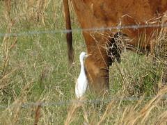 Cattle Egret - Texas by SpeedyJR (SpeedyJR) Tags: nature birds texas wildlife egrets nationalwildliferefuge cattleegret nwr anahuacnationalwildliferefuge anahuacnwr chamberscountytexas speedyjr ©2015janicerodriguez