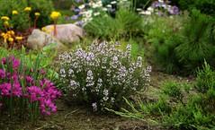 Thymus vilgaris -   (igormilekhin) Tags: thymus vulgaris outdoor flower plant garden design flowerbed sony