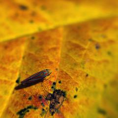 Autumn Warpaint (Sean Anderson Media) Tags: bug insect colorful autumnleaf leaves autumn fall warpaint macro fotodiox cmount bauschandlomb26mmf19 leafhopper orangeleaf shallowdepthoffield shallowdof leaftexture nature sonya7rii hopper