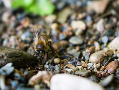 Drinking bee (alejo.365shoots) Tags: bee drink rocks depth 365