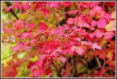 Feuillage d'automne (Les photos de LN) Tags: arbuste couleurs rouge automne nature mtamorphose teintes