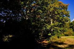 The Path (Franco Vannini) Tags: madonnadelfaggio tuscany toscana beech oak faggio quercia autunno goldenretrievers