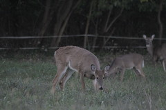 _MG_1901 (thinktank8326) Tags: deer whitetaileddeer fawn doe babyanimal babydeer