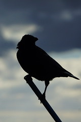 DSC02132 - Carrion Crow (steve R J) Tags: carrion crow park birds british sillouette gunners ewt reserve