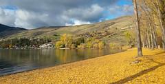 Autumn in Vernon - Kin Beach (John W Olafson) Tags: golden yellow leaves cottonwood autumn fall vernon kinbeach