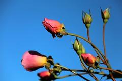 November Rosebuds_2016 (Zygmunt Su...) Tags: saveearth flowerscolors fantasticflower