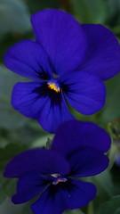Penses (passionpapillon) Tags: fleurs flowers macro nature bleu pense thought