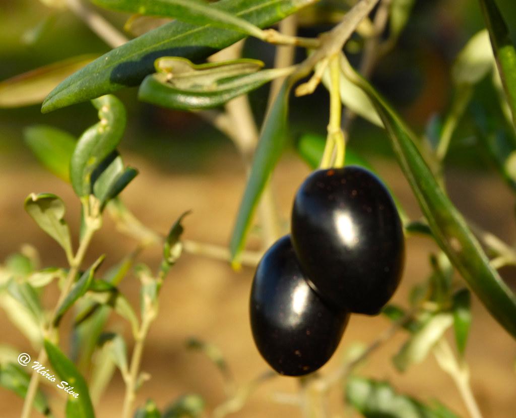 Águas Frias (Chaves) - ... o negr (escuro !!!!) das azeitonas ...