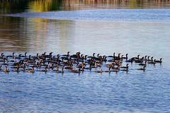 Duck flotilla (GerryL) Tags: gerryl sacramento california canoneos7d canonef70200mmf4lusm canonextenderef14xii northnatomasregionalpark