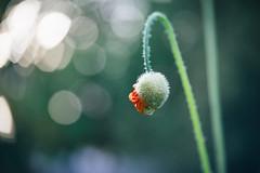 perhaps (Prestonbot) Tags: poppy flowerbud bokeh