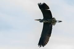 _F0A9107.jpg (Kico Lopez) Tags: ardeacinerea galicia garzareal lugo mio spain aves birds rio mio