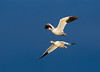 2016-11-16 P9080997 Snow Geese slip across a midnight blue sky (Tara Tanaka Digiscoped Photography) Tags: snowgeese sunrise gh4 bosquedelapachenwr blue sky flight bif nikon 200mm f2 ed if ais