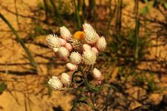 Geraldton to Mullewa WA  2016 36 (Graeme Butler) Tags: wildflowers landscape heritage heathland flowers culture westernaustralia australia