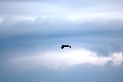 Fischadler (Pandion haliaetus) (3), NGID101879434 (naturgucker.de) Tags: ngid101879434 naturguckerde fischadlerpandionhaliaetus müritznationalpark ckarolaapel