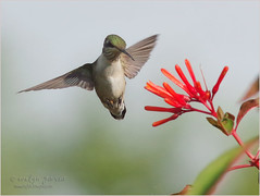 the inspector. (evelyng23) Tags: archilochuscolubris colibri hummingbird rubythroatedhummingbird birding avian nature wildlife bird hummer feeding firebush inflight pentax pentaxk3 aficionados sigma 300mmf28 420mm redlands florida usa 14xtc 2016 november castellowhammock