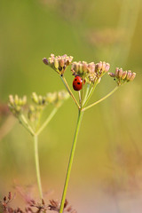 Marienkfer (2) (Trutnauphotography) Tags: bug insects insekt nature flower