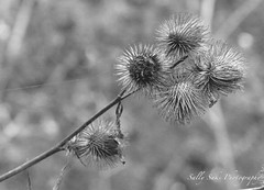 IMG_0605 - Version 2 (Sally Knox Sakshaug) Tags: fall autumn october outdoors nature leaf leaves black white blackwhite bw contrast weed spike spiky sharp branch burdock round many circle long point pointy orbs clumps dried dry old