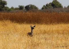 10-16-15 (522) Merced Wildlife Refuge, California (KatieKal) Tags: mercedwildliferefuge california usa october autumn deer canon60d canon70300mmlens