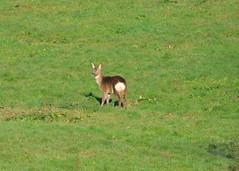 Roe Deer (Crowcombe Al) Tags: roedeer crowcombebridge crowcombeheathfield waterdene