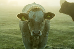 20161010-06_Looking me straight in the eye (gary.hadden) Tags: rugby warwickshire littellawford kingsnewnham middleengland landscape dawn sunrise mist softlight goldenhour cow cattle bullock cows