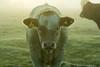 20161010-06_Looking me straight in the eye (gary.hadden) Tags: rugby warwickshire littellawford kingsnewnham middleengland landscape dawn sunrise mist softlight goldenhour cow cattle bullock cows