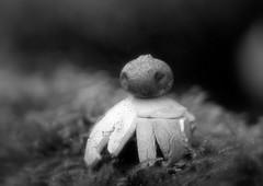 Lost in Translation - Geastrum sessile (ursulamller900) Tags: mushroom fransenerdstern diaplan28100 extensiontubes makroringe pilz bw