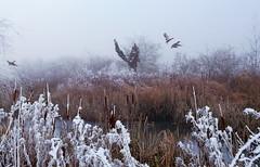 fly (welenna) Tags: switzerland snow schwitzerland schnee winter vgel view bird duck ente fly nebel natur natural fog mist water wasser raureif kestenholz