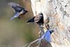 Western Bluebirds (Tom Nord) Tags: bluebird whittiernarrowsnaturecenter natrurecenter westernbluebird bird