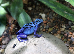 Blue poison dart frog in Zrich Zoo (corinne_benavides) Tags: zoo frog blue