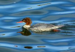 Goosander at Draycote Water (robmcrorie) Tags: draycote water reserevoir severn trent warwickshire bird birding nature goosander