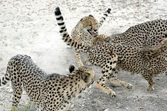 Food Fight (zenseas) Tags: foodfight fight feeding hungry wild cheetah cheetahs captive otjitotongwecheetahpark kamanjab namibia africa guestfarm holiday vacation acinonyxjubatus dots spots spotted nonreleasable notapet explore explored