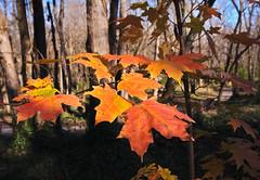 fall_leaves_8964 (McConnell Springs) Tags: mcconnellspringspark lexingtonky lexingtonparksrecreation tree leaves fall